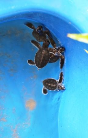 Turtle Sanctuary, Turtle Beach, Taman Negara, Penang, Malaysia