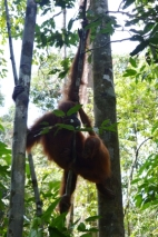 Orang-Utan Weibchen mit Nachwuchs, Gunung Leuser Nationalpark