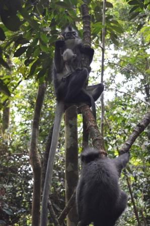 Thomas Leaf, monkey, female, baby