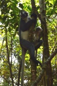 Thomas Leaf, female, monkey, baby