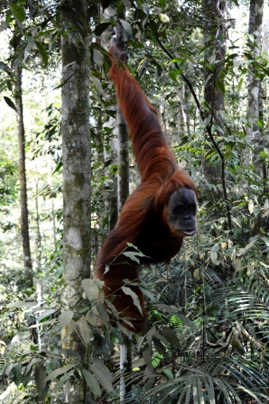 Orang-Utan Weibchen, Gunung Leuser Nationalpark