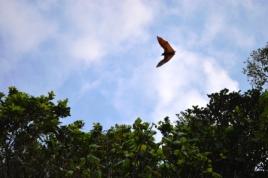 Giant bat - Riesenfledermaus